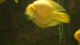 Fish swim to each other and, as it were, kiss. Yellow fish of Cichlasoma parrot stock video footage