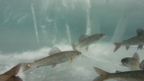 Fish swim under the ice of Lake Baikal, Russia. stock footage