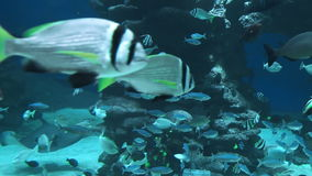 Fish swim under water and float past the camera. In slow motion stock footage