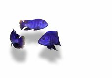 Fish swiming in a circle. Bright blue fish swiming in a circle isolated Royalty Free Stock Photo