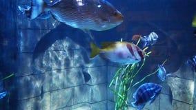 Fish swimming acquarium. Fish swimming in the acquarium stock video footage