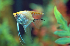 Fish swimming in Aquarium Royalty Free Stock Photography