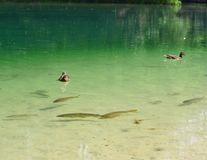 Fish swimming around in a pond in the water column and at the su. Rface of the duck, Czech Republik Stock Photos