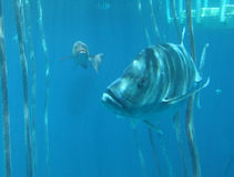 Fish Swimming in Blue Ocean Royalty Free Stock Image