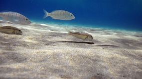 Fish swimming in blue sea Stock Images