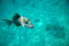 Fish swimming in blue sea Royalty Free Stock Photo
