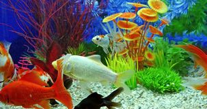 Fish Swimming In Freshwater Aquarium. Fish Swimming In Tropical Freshwater Aquarium stock video footage