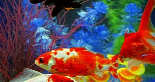 Fish Swimming In Freshwater Aquarium. Fish Swimming In Tropical Freshwater Aquarium stock footage