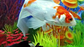 Fish Swimming In Freshwater Aquarium. Fish Swimming In Tropical Freshwater Aquarium stock video