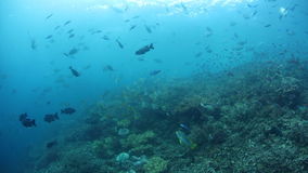 Fish Swimming Over Reef in Raja Ampat. Fish and corals thrive over a healthy reef in Raja Ampat, Indonesia. This tropical region is known for its extraordinary stock footage