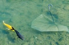 Fish swimming past umbrella. Two fish swim past an umbrella that has been thrown into the river and polluting the environment royalty free stock images