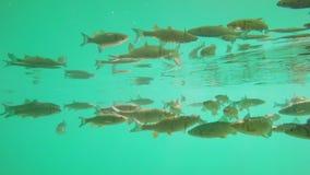 Fish swimming in Plitvice lake. Underwater scene stock video