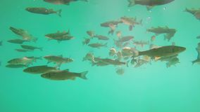 Fish swimming in Plitvice lake. Underwater scene stock footage
