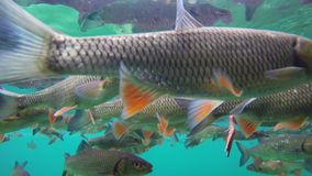 Fish swimming in Plitvice lake. Underwater scene stock video footage