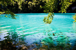 Fish swimming in Plitvice lakes and waterfalls Royalty Free Stock Images
