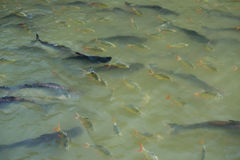 Fish swimming in the river Stock Photo
