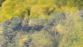 Fish Swimming in a River in a School stock video footage