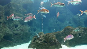 Fish swimming slow in big aquarium. View of huge aquarium at the zoo with many fish swimming slowly above rocky sea bed with oxygen bubbles emerging here and stock video