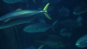 Fish swimming in a tank. At the fish-tank stock footage