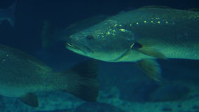 Fish swimming in a tank. At the fish-tank stock video footage