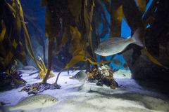 Fish swimming in a tank with algae Stock Images
