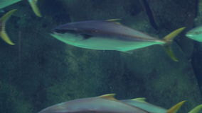 Fish swimming in a tank with algae. At the aquarium stock video footage