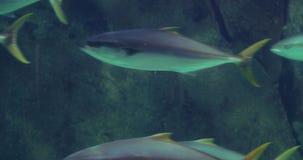 Fish swimming in a tank with algae. At the aquarium stock video