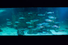Fish swimming in tank Royalty Free Stock Images