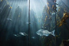 Fish swimming in a tank Stock Images