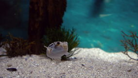 Fish swimming in tank in aquarium. In slow motion fish swimming in tank in aquarium stock footage