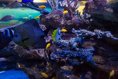 Fish swimming in a tank with coral Royalty Free Stock Photography