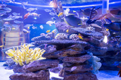 Fish swimming in a tank with corals and stones Stock Photography