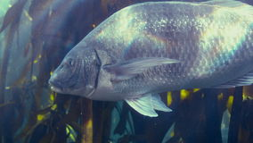 Fish swimming in a tank. In slow motion stock video footage