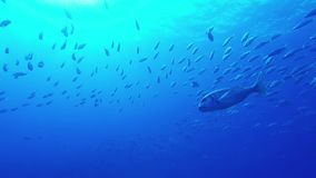 Fish swimming. In tropical ocean fuerteventura canary islands stock video footage
