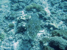 Fish swimming in tropical reef. Overhead view of camouflaged fish swimming over coral reef off Andaman beach, Thailand stock photo