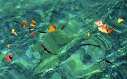 Fish swimming in the water wave. Fish swimming freely in the water wave under some yellow leaves Stock Photography
