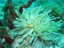 Fish swims in anemone Stock Image