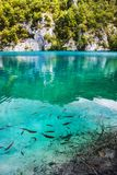 A fish swims near the shore of the lake with crystal clear turquoise water. Plitvice, National Park, Croatia royalty free stock photos