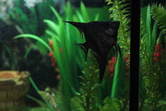 Fish swims. Fish swimming in the aquarium. Morning. Black fish in the aquarium Royalty Free Stock Photos