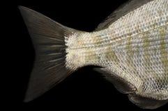 Fish tail Royalty Free Stock Photo