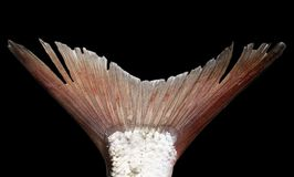 Fish tail on a black background. Photos in the studio Stock Images