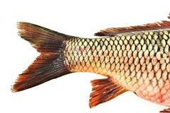 Fish tail,carp. Fish tail carp isolated on white Stock Photography