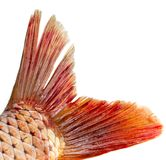 Fish tail on a white background. Photos in the studio Stock Images