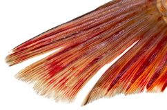 Fish tail on a white background. Photos in the studio Stock Photography