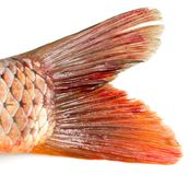 Fish tail on a white background. Photos in the studio Royalty Free Stock Images