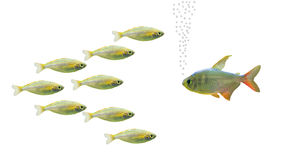 Fish talk. Big fish talking with group of small fishes Royalty Free Stock Image