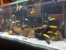 Fish tank. Fish in a tank royalty free stock photo