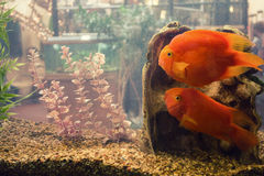 Fish in a tank Stock Photography