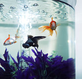 Fish Tank. Three beautiful Fantail Goldfish swimming in a tank Stock Photography
