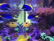 Fish Tank: Yellow Tang, Hepatus, Powder Blue, Fox Face Stock Photo